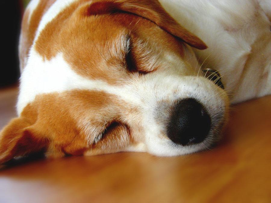Sleepy dog3