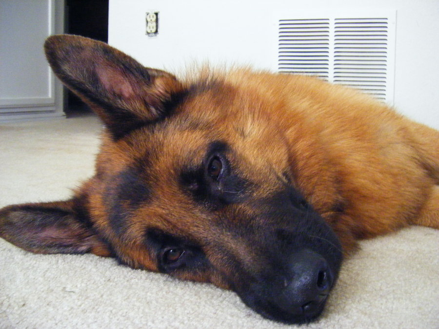 sleepy dog6