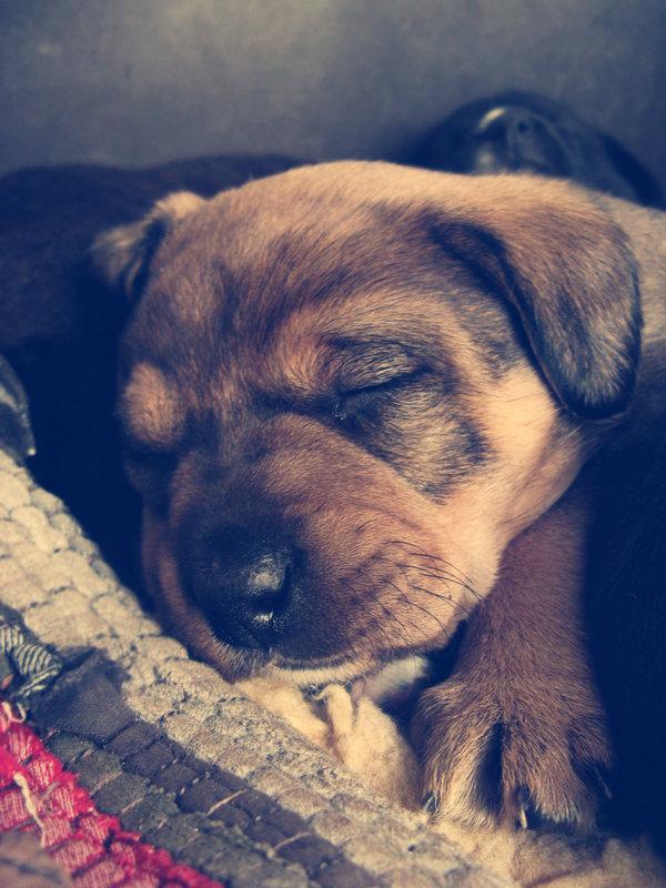 sleepy dog7