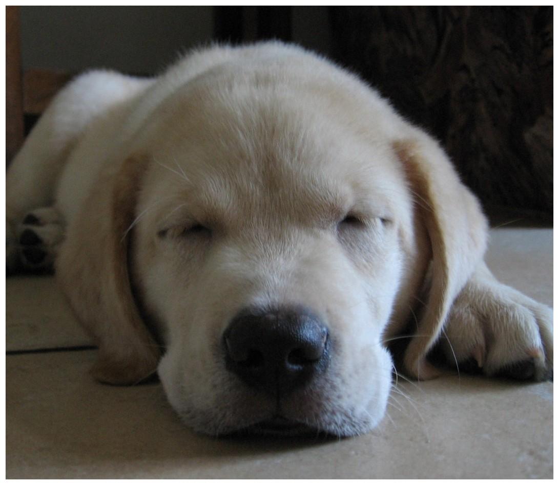 Sleepy_dog