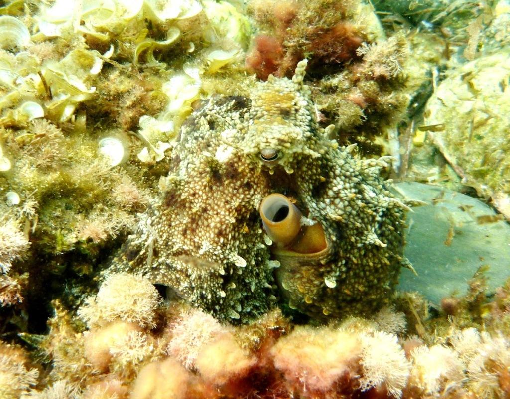 octopus vulgariss