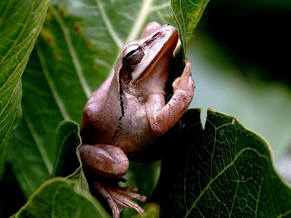chaibasa-tree-frog_93475_990x742